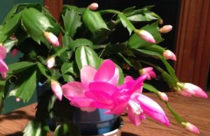 Close-up of a Holiday cactus with green, shiny leaves, many buds and a pink bloom. which