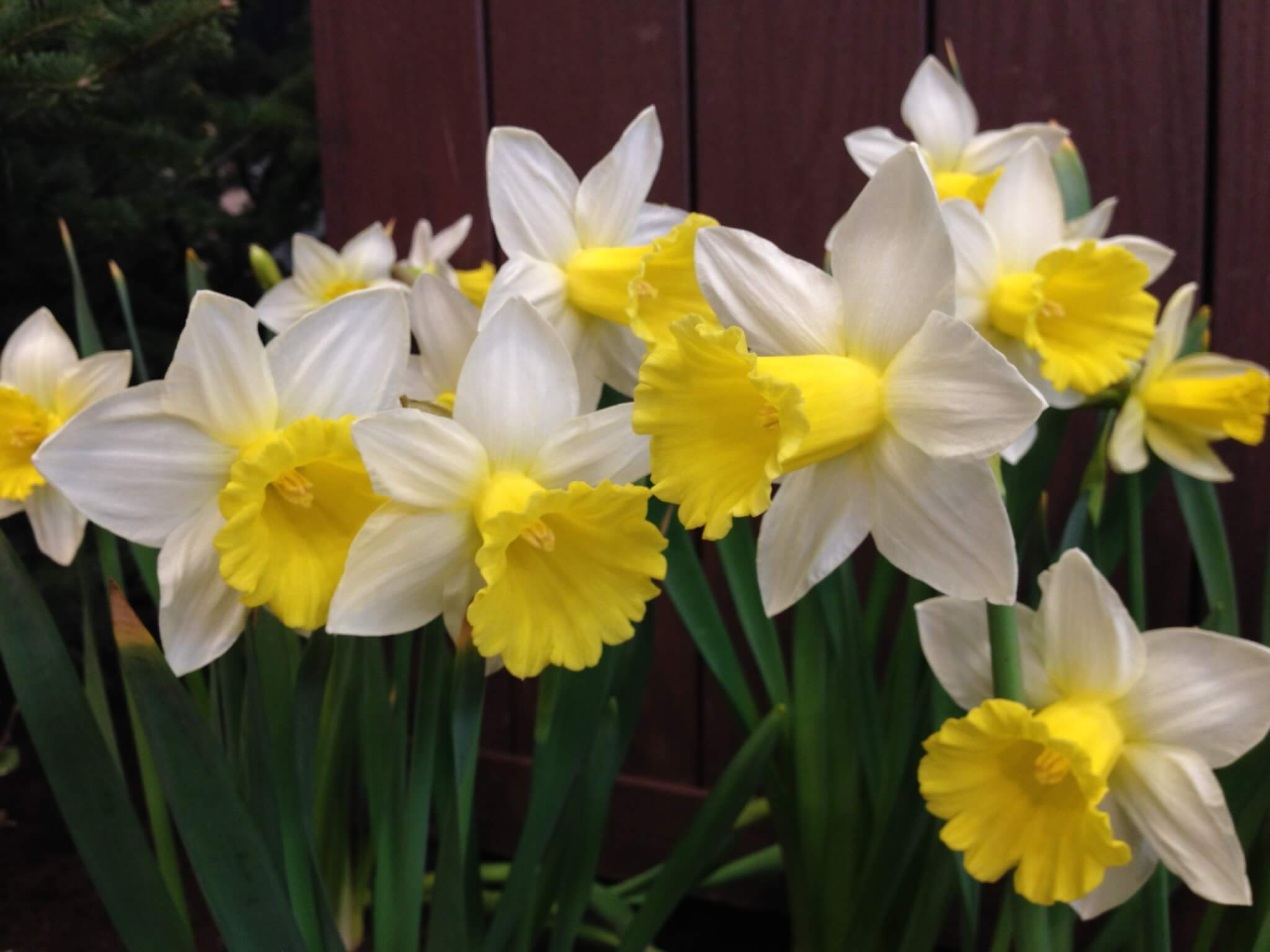 Group of 10-12 daffodils in full bloom with white pedals in a star shape around the yellow center which protrudes out and flairs open with ruffled edges along the front edge.