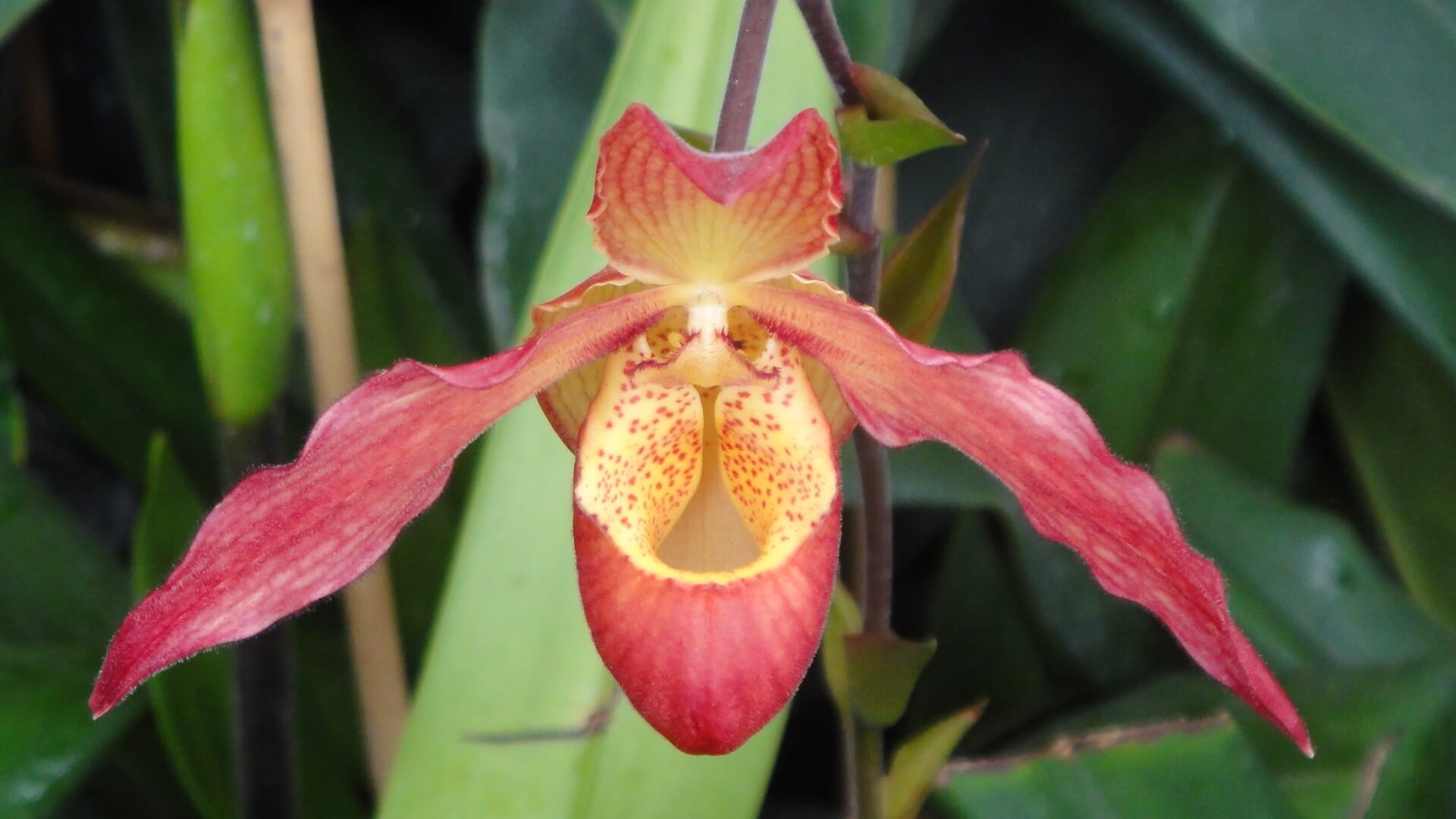 Close-up of the flower of the Slipper orchid. The reddish pink pedals of the flower appear variegated with some yellow. Center of flower is yellow with reddish speckles. The green leaf is in the background.