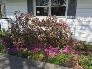 Rhododendron bush in a bed in front of a house that had been in full bloom showing freeze injury indicated by a majority of the blooms laying on the ground all around the bush.
