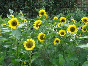 small patch of short height sunflowers with the yellow pedals around the center seed head. Straight stalks with large, spade shaped or slightly elongated green leaves.