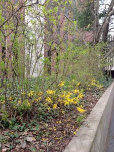 Forsythia bush in a landscaped bed with blooms only on the lower branches of the plant.
