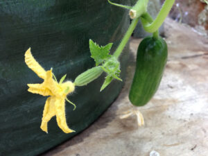 Close-up of the end of a cucumber vine showing a large yellow bloom and a small cucumber fruit.