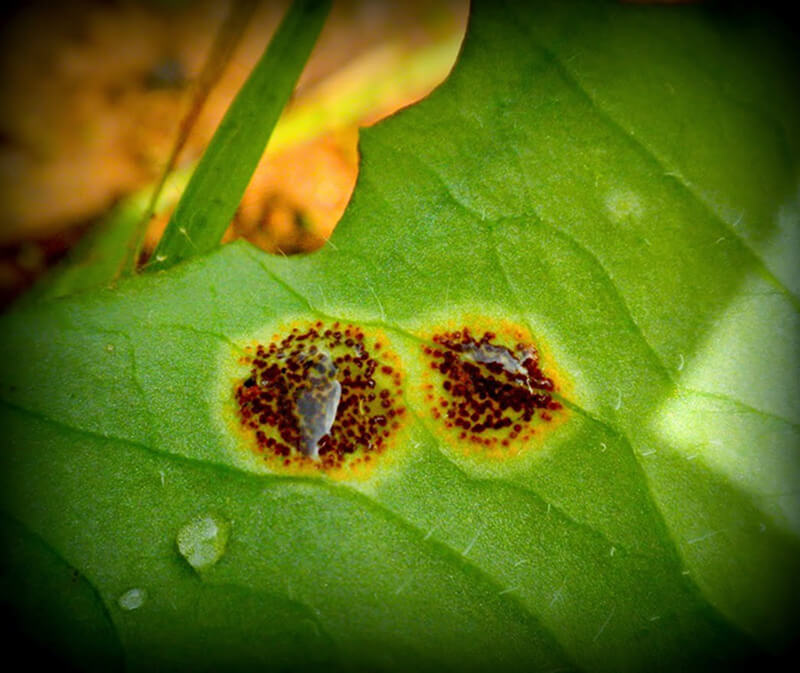 Pucciniales, a type of parasitic microfungi