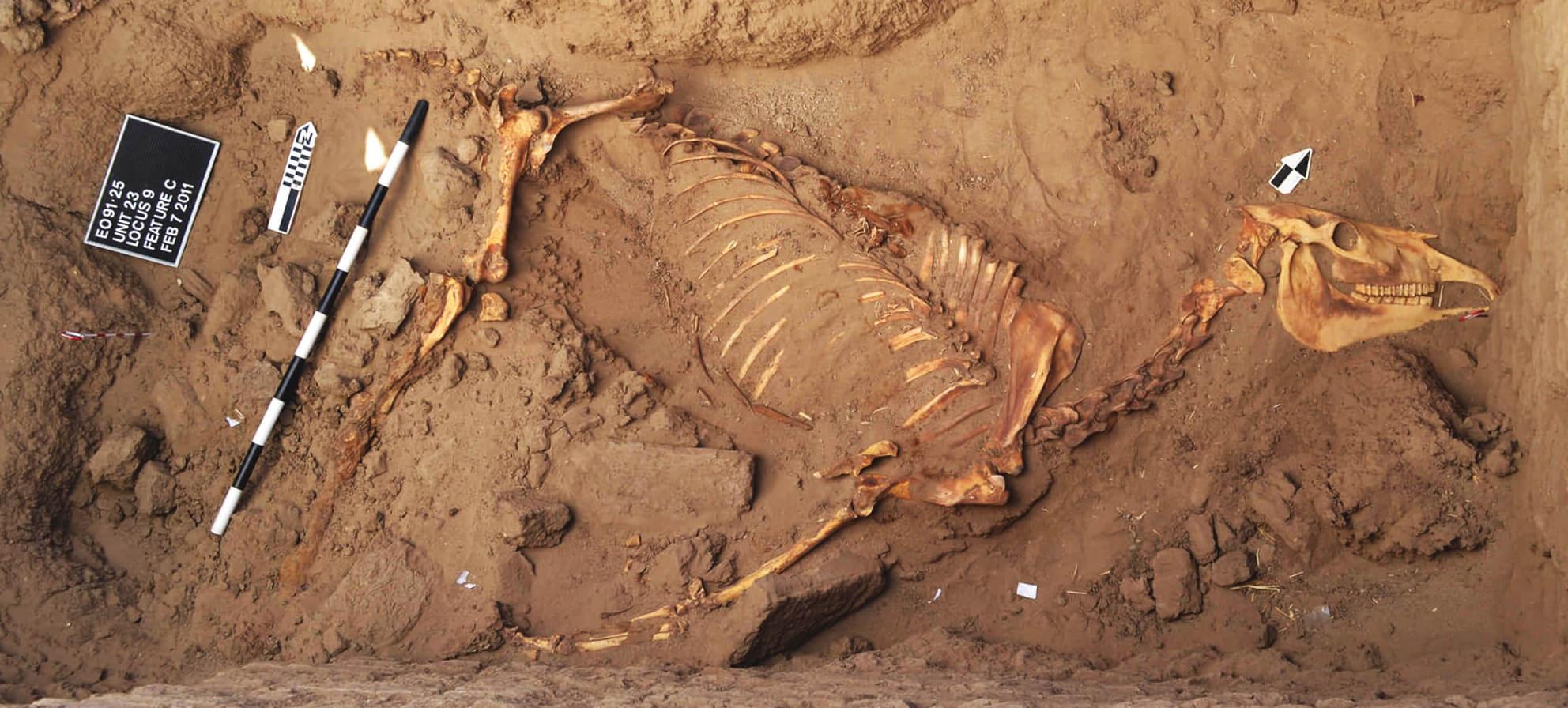 horse skeleton
