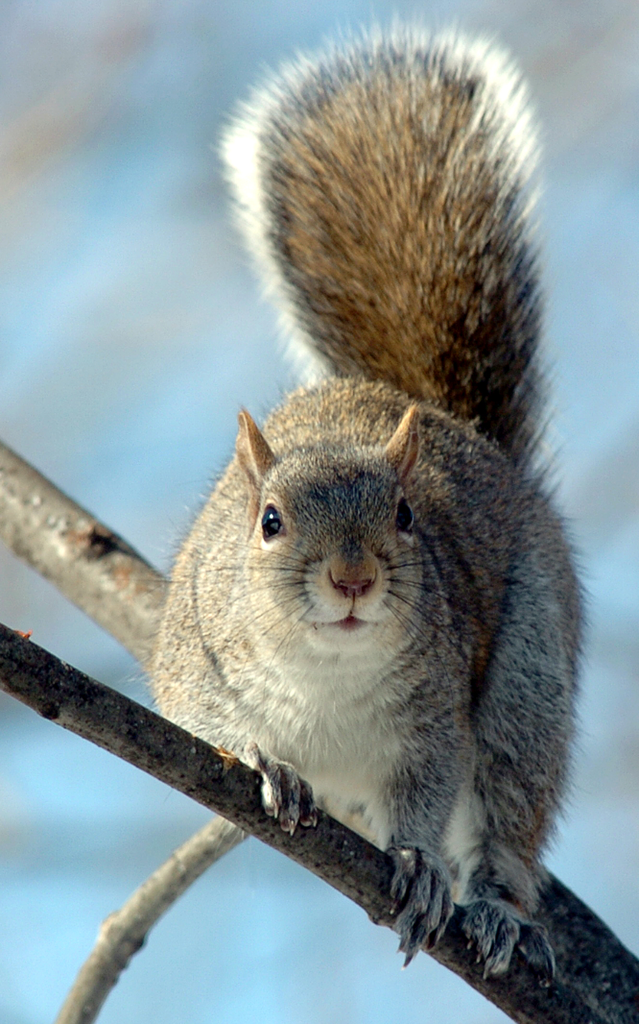 Gray Squirrel Animal Pictures