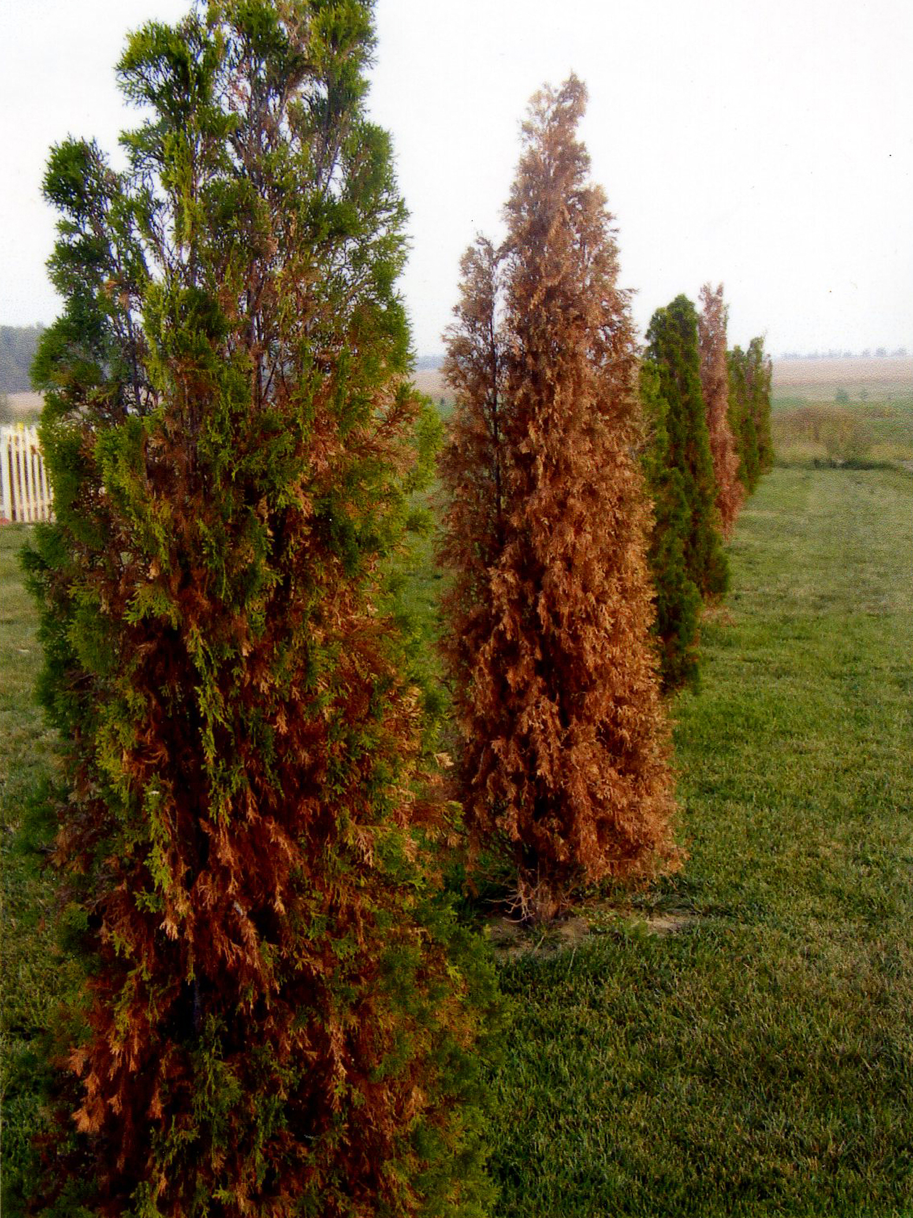 What to do if thuja turned yellow after winter 34