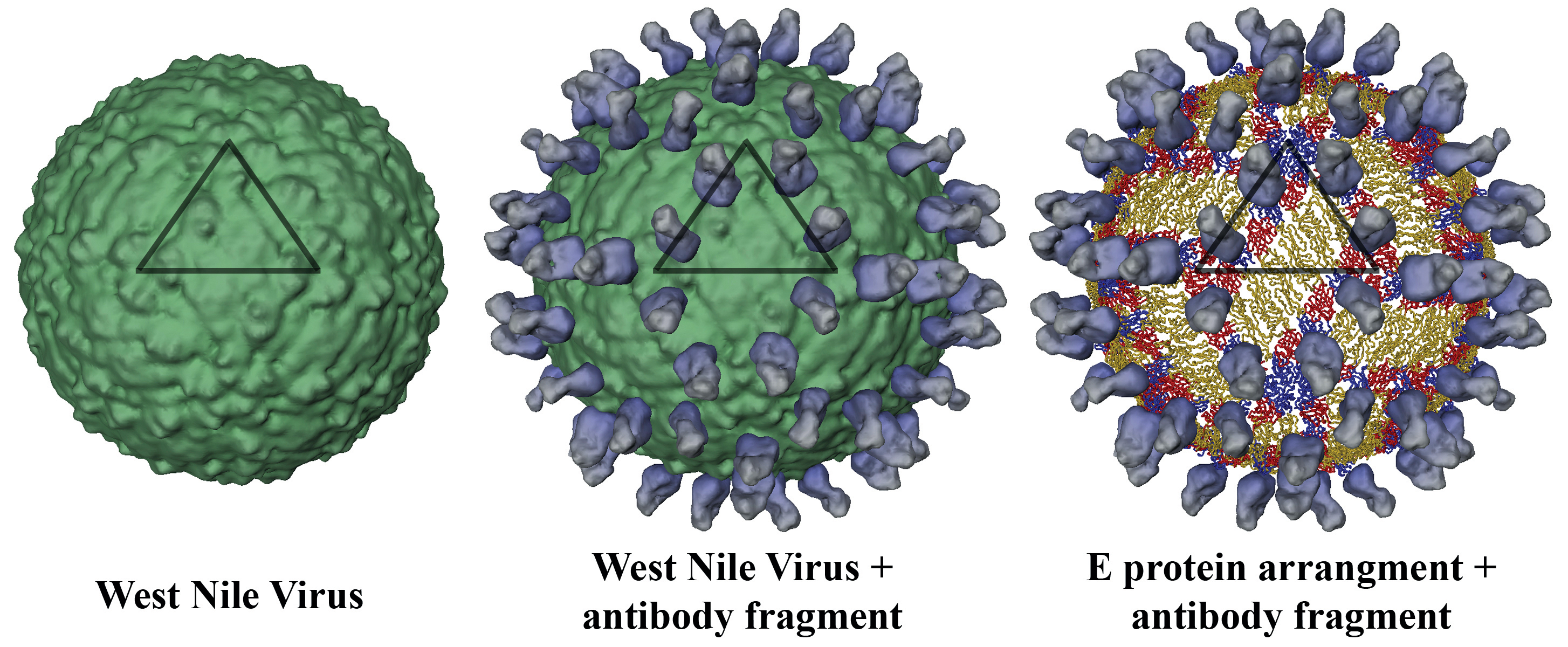 a geography of the west nile virus West nile virus encephalitis (wne) is the most common neuroinvasive manifestation of wnnd wne presents with similar symptoms to other viral encephalitis with fever, headaches, and altered mental status.