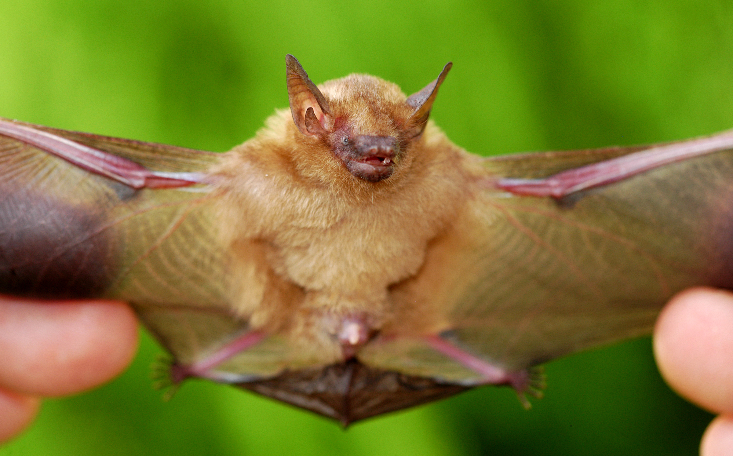 purdue has a holiday gift idea name a new species of bats
