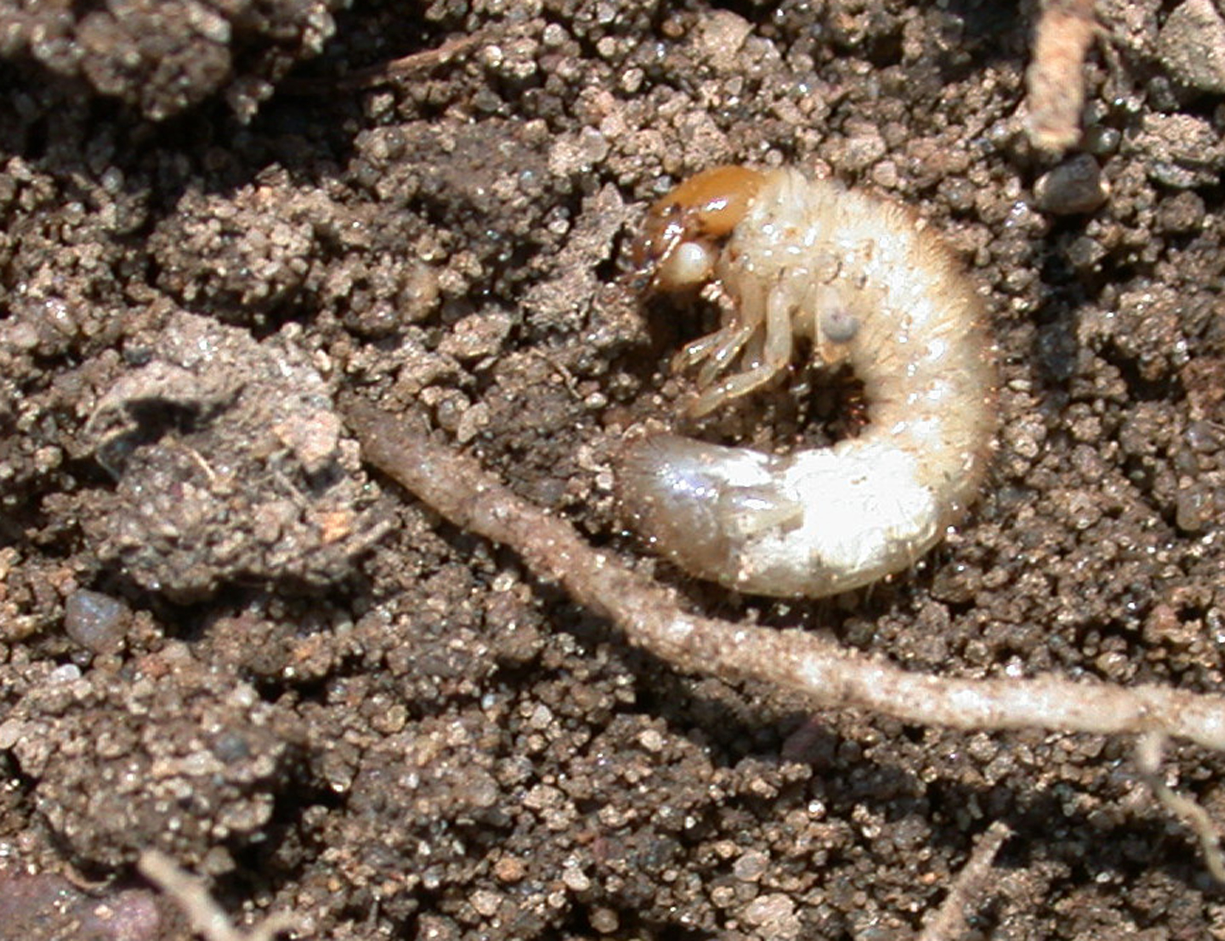 Japanese beetle grub - photo#18