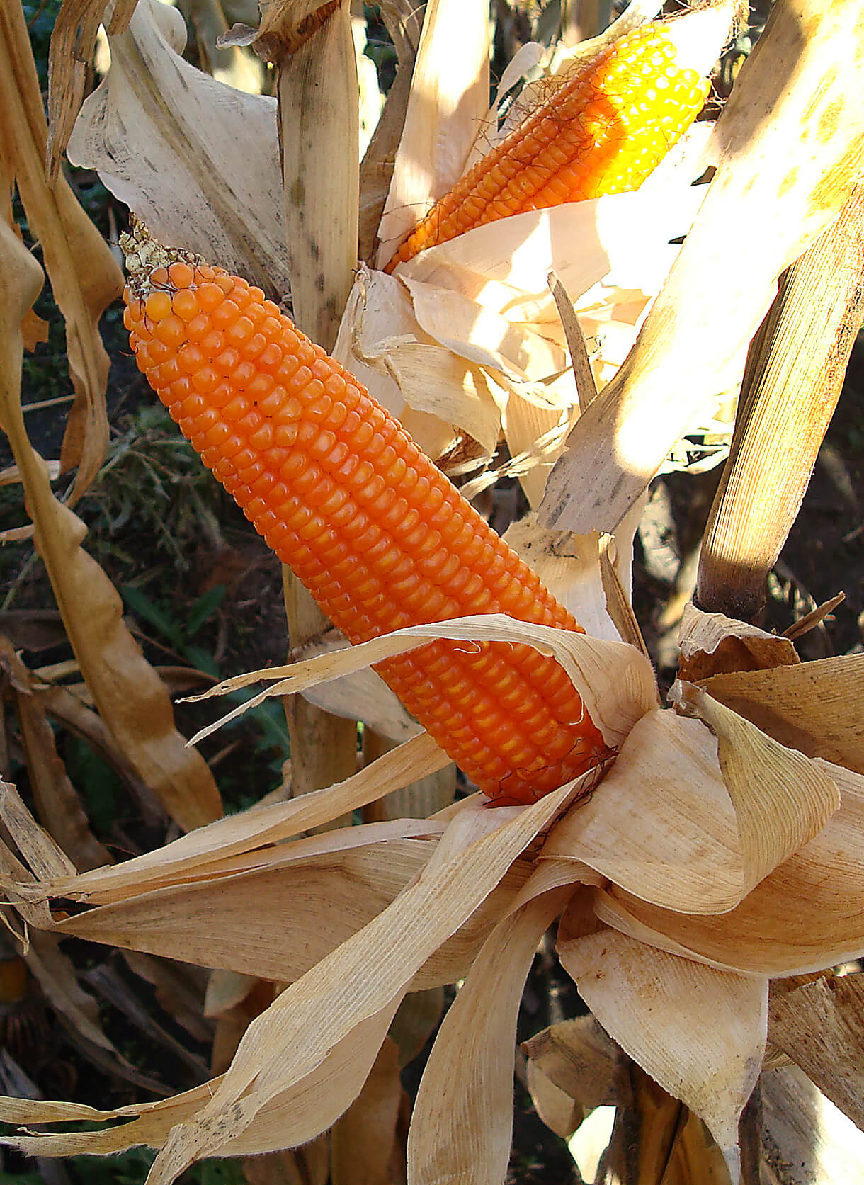 Orange Corn Holds Promise For Reducing Blindness Child Death