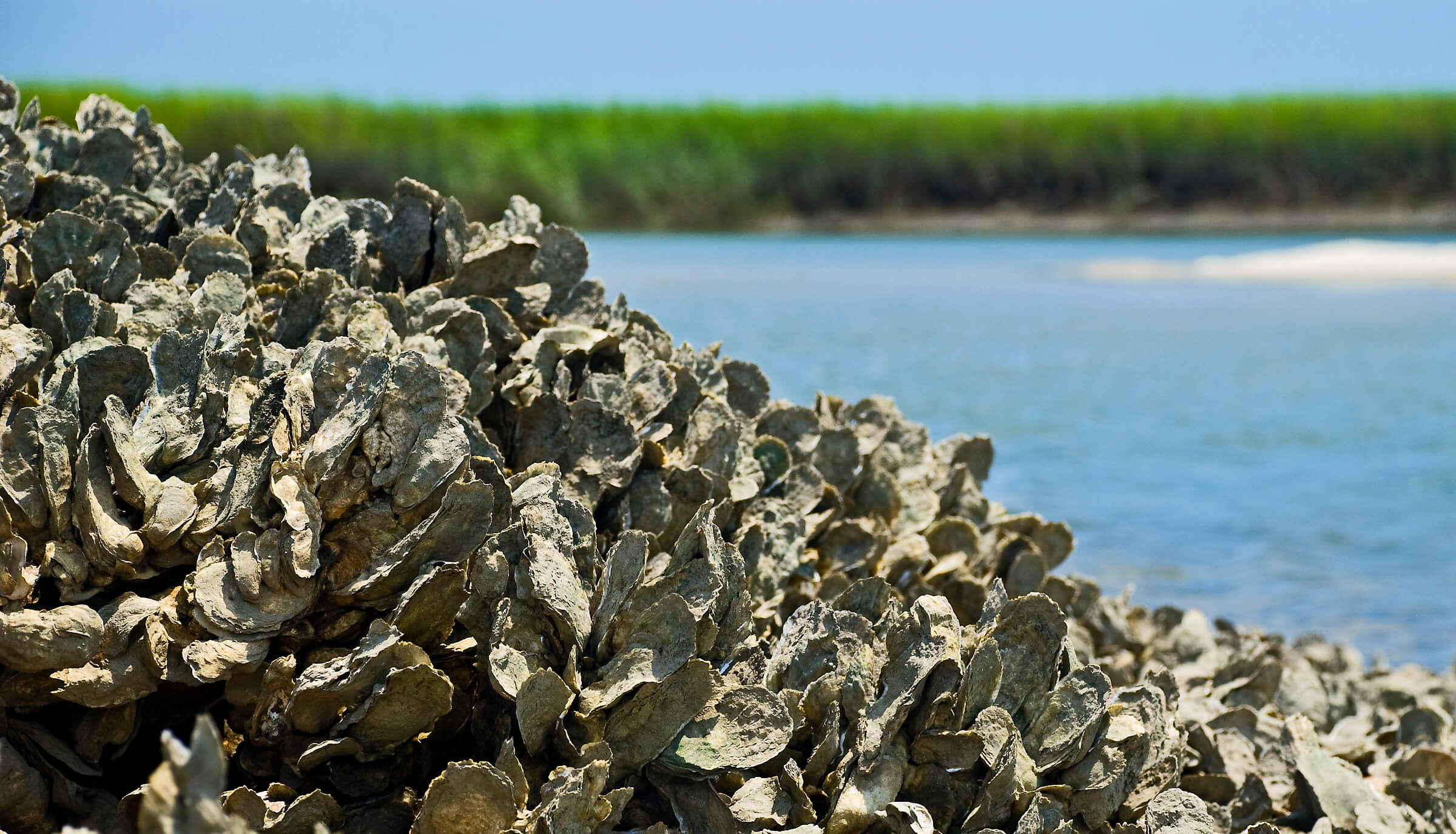 oyster thesis