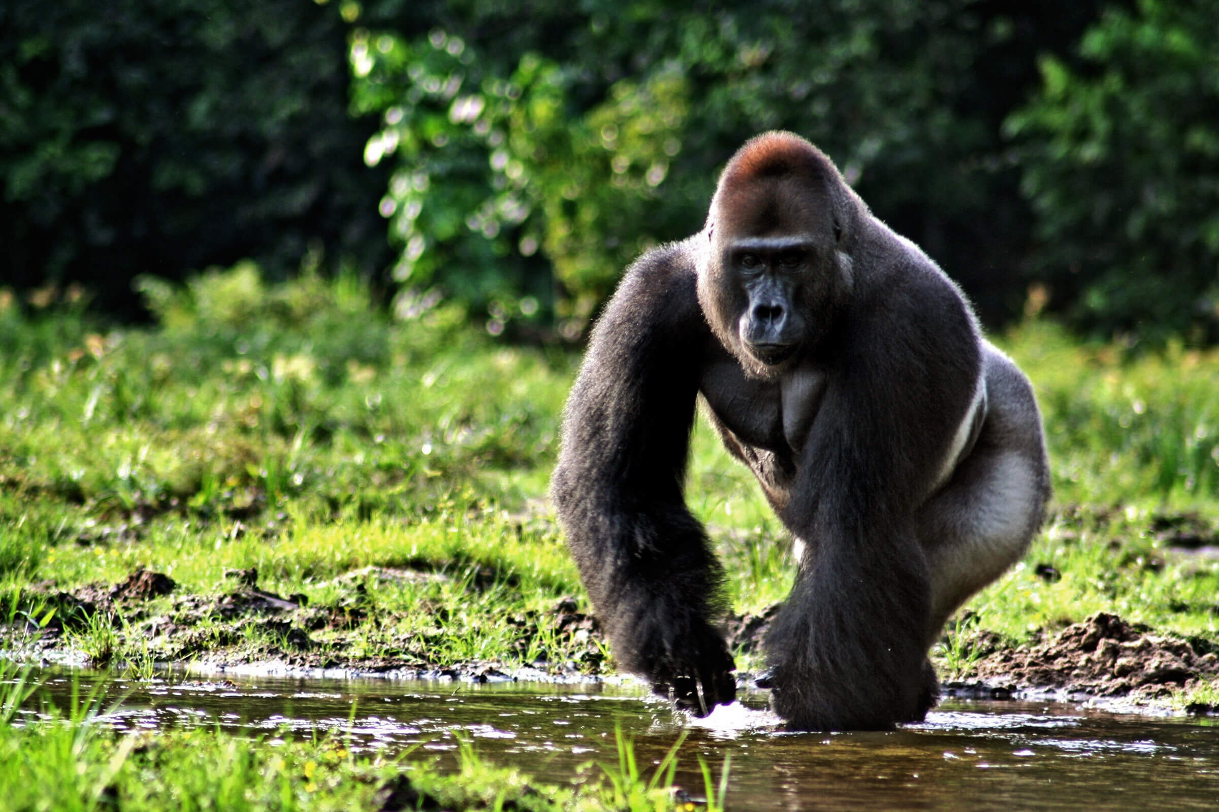 gorillas an endangered species Intelligent, charismatic, and endangered gorillas are our closest living relatives after chimpanzees and bonobos the two gorilla species live in equatorial africa, separated by about 900km of congo basin forest each has a lowland and upland subspecies western gorilla.