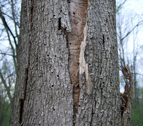 Image result for ash tree borer
