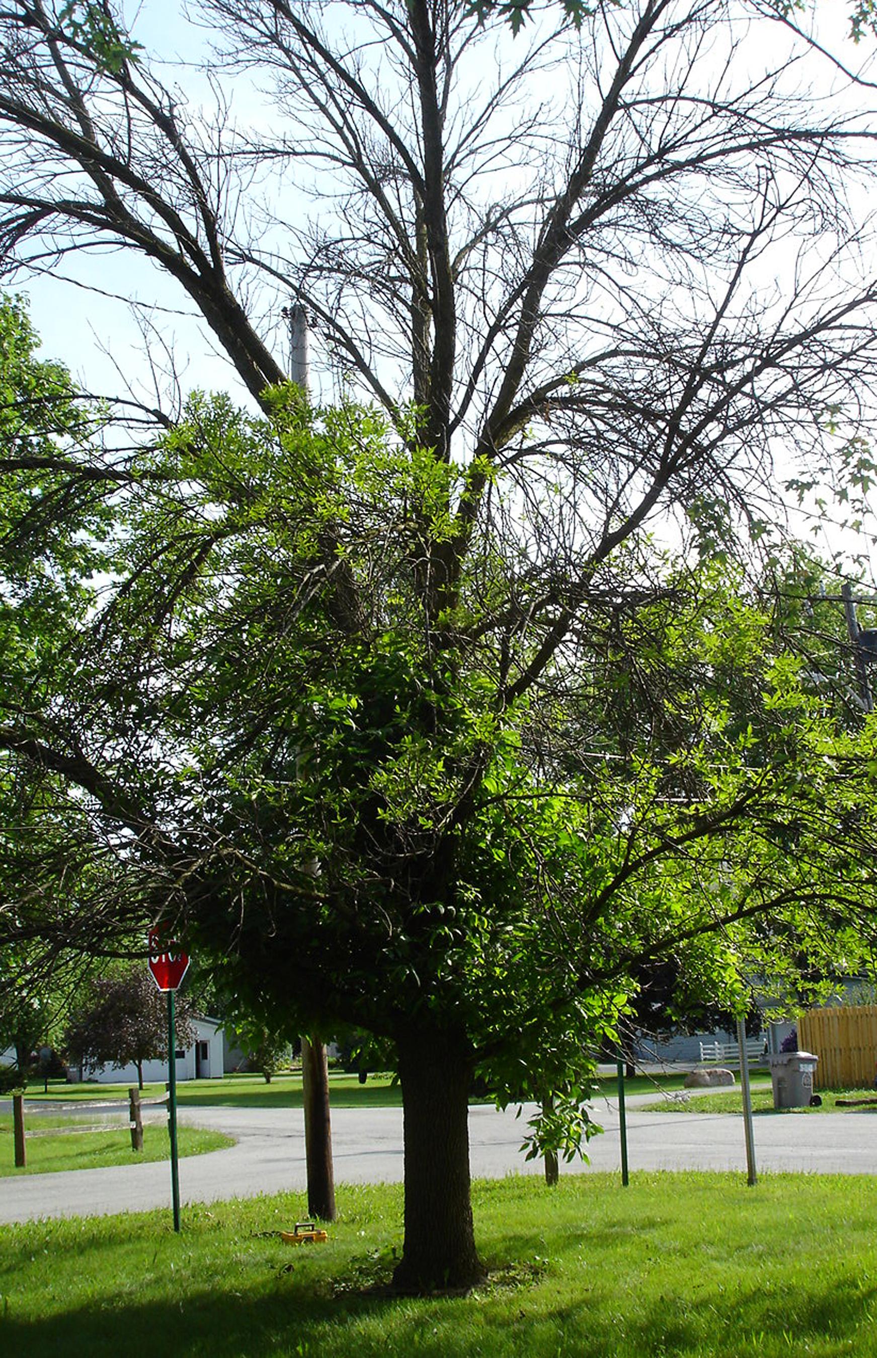 ash tree borers
