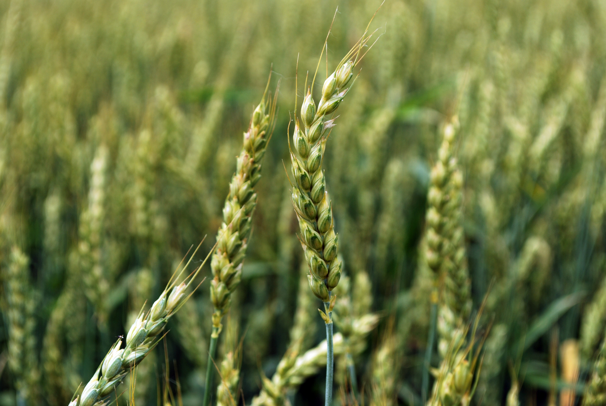 wheat crop faces abnormal weather  disease pressure