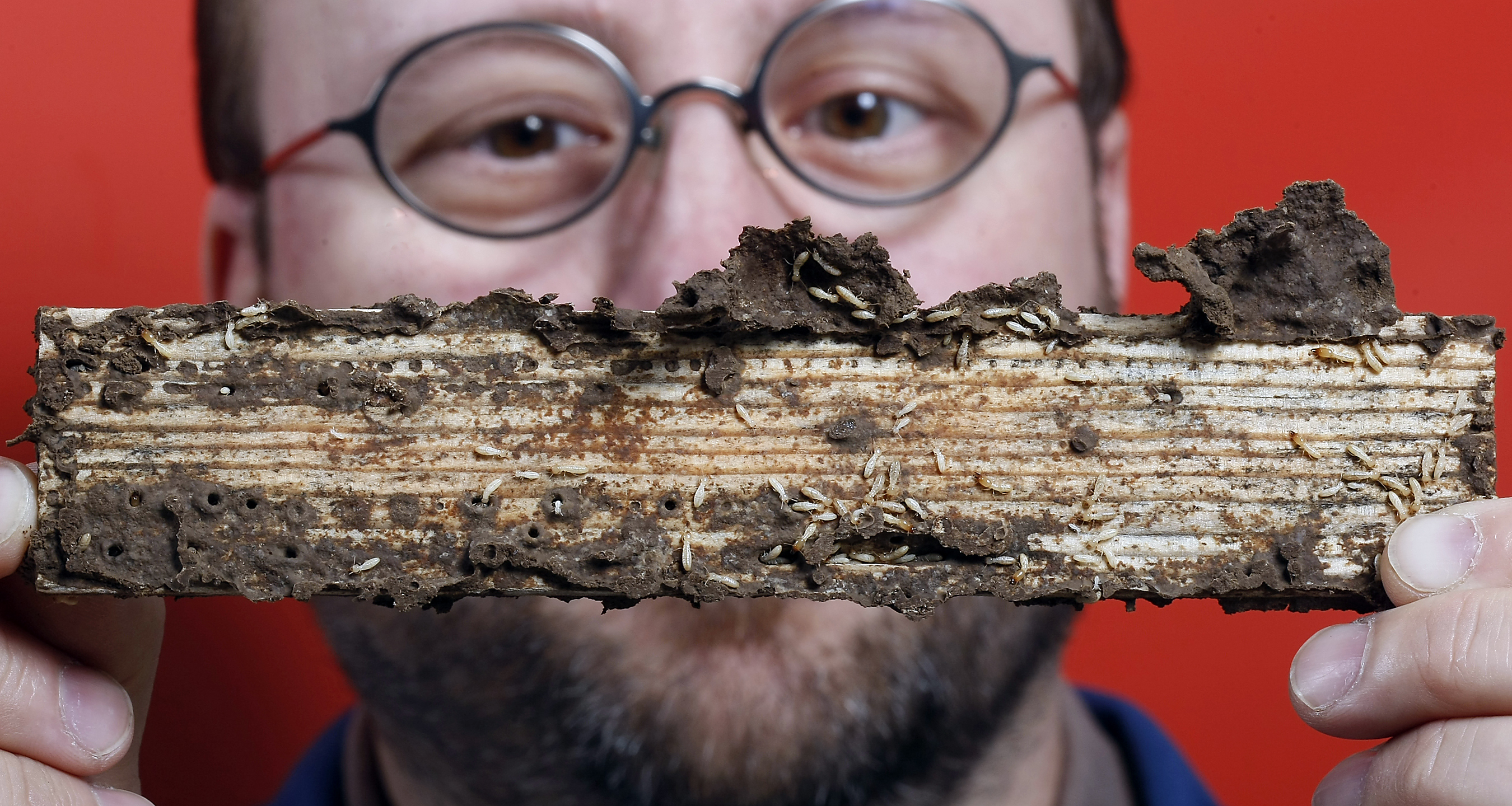 Termite Genome Lays Roadmap For Greener Control Measures - Us termite map
