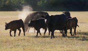 beef herd