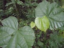 Pterygota mildbraedii tree