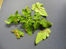 tomato plant leaves with late blight