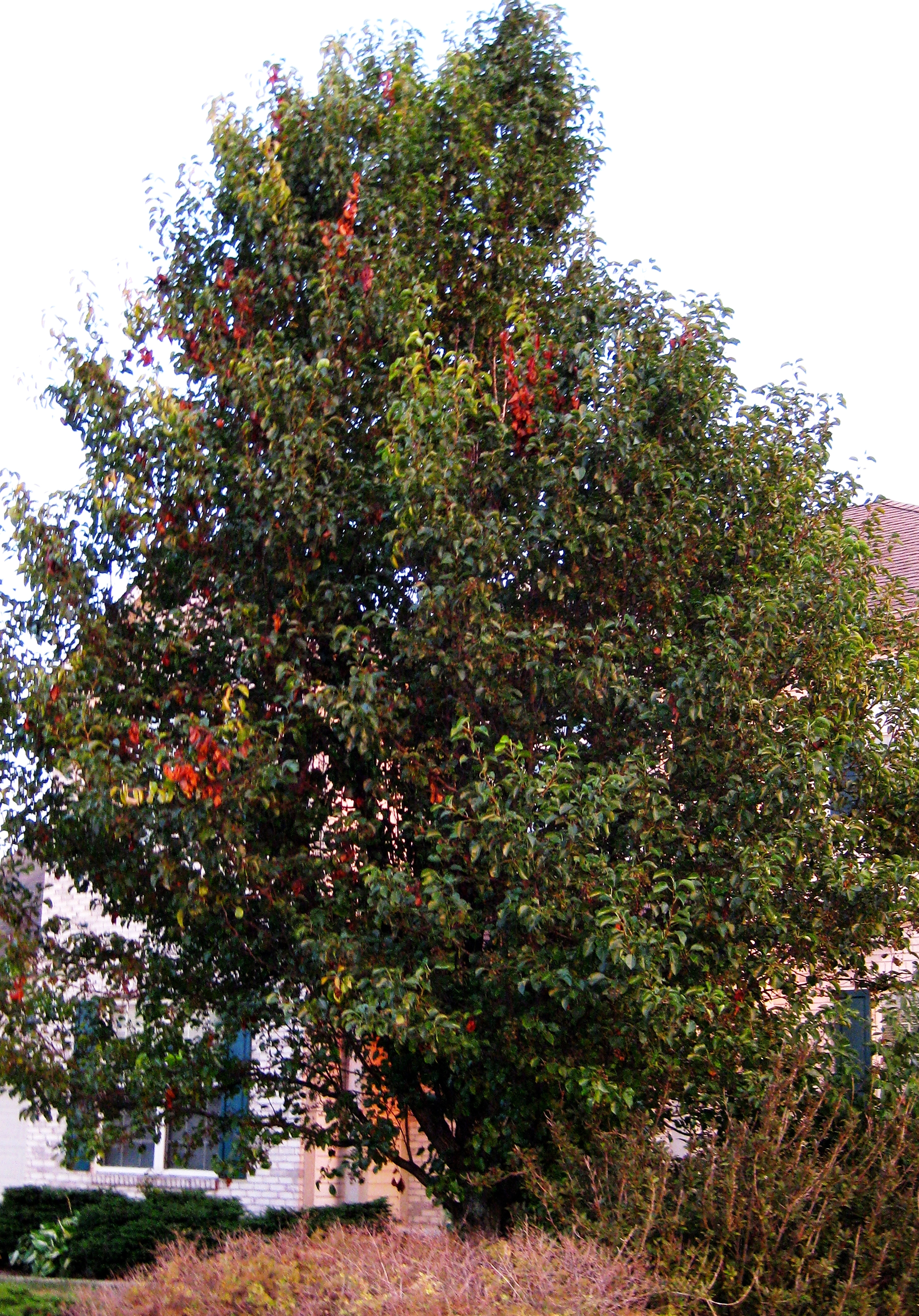 Purdue expert: Trees can get 'burned' again by fire blight ...