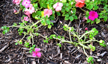 impatiens plants with downy mildew