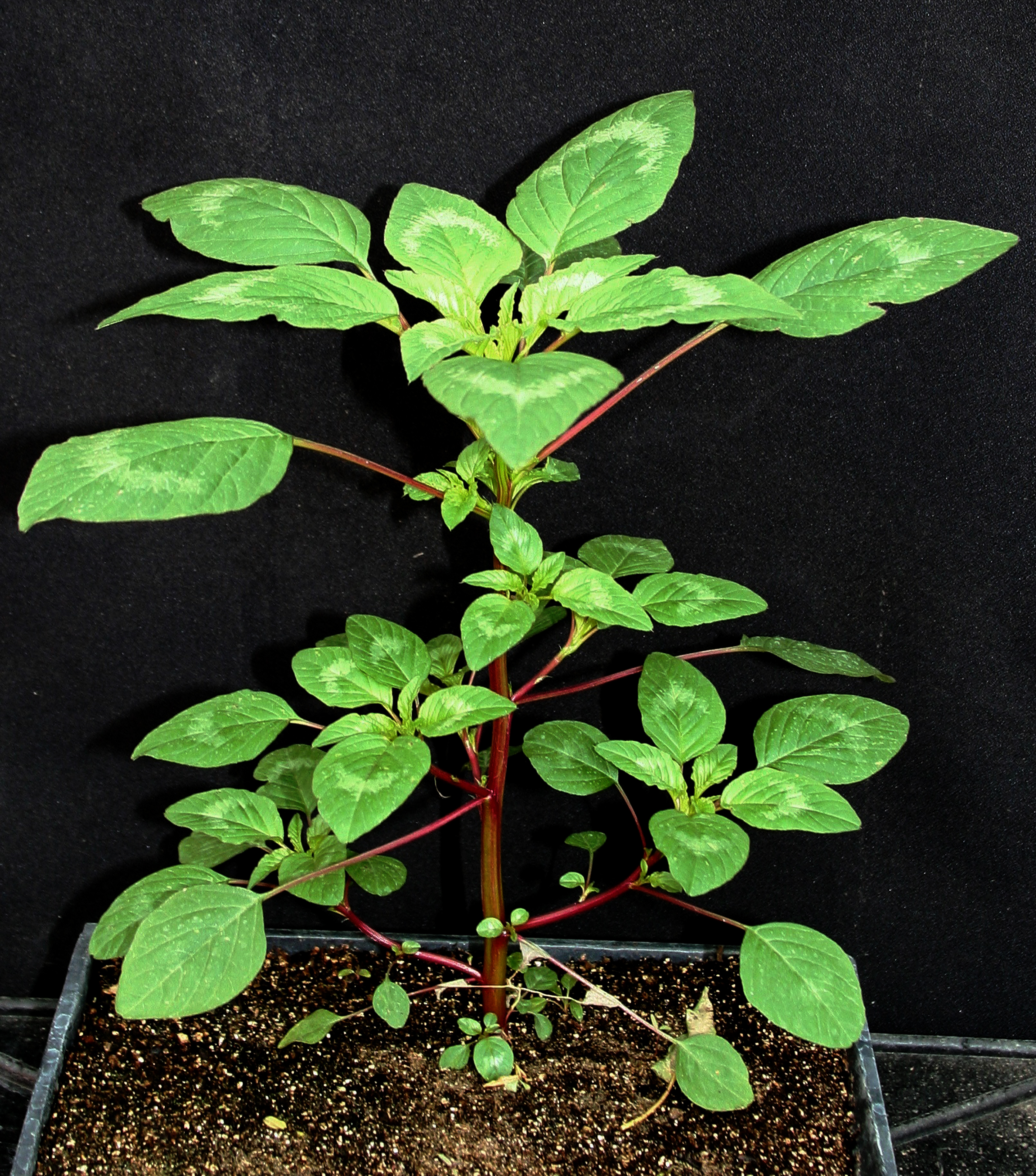 New publication to help farmers control Palmer amaranth weed ...