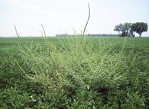 Palmer amaranth weed