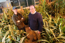 Brian Dilkes, at left, and Mitch Tuinstra with sorghum plants. (Purdue Agricultural Communication photo/Tom Campbell)