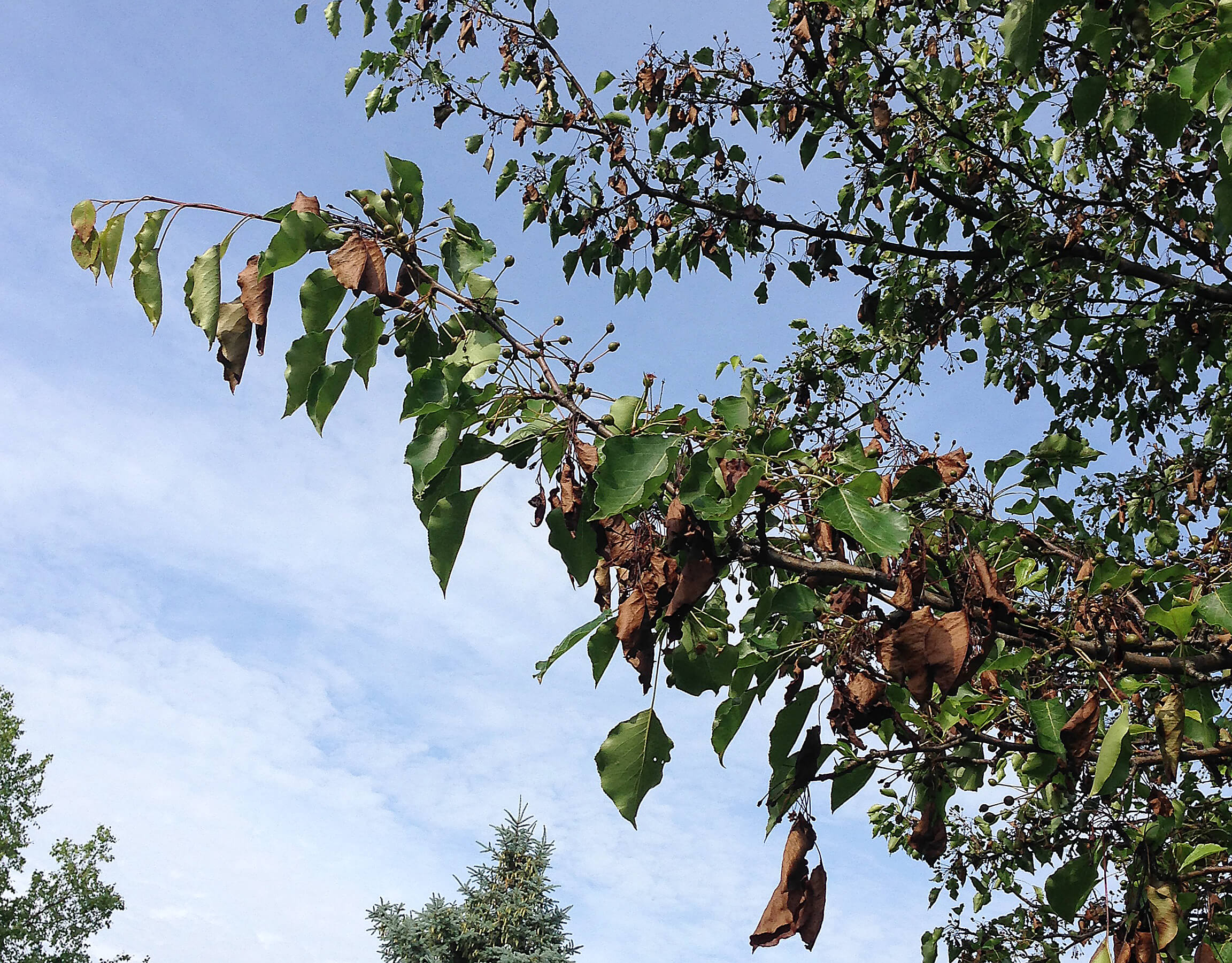 Pear Tree Diseases Pictures