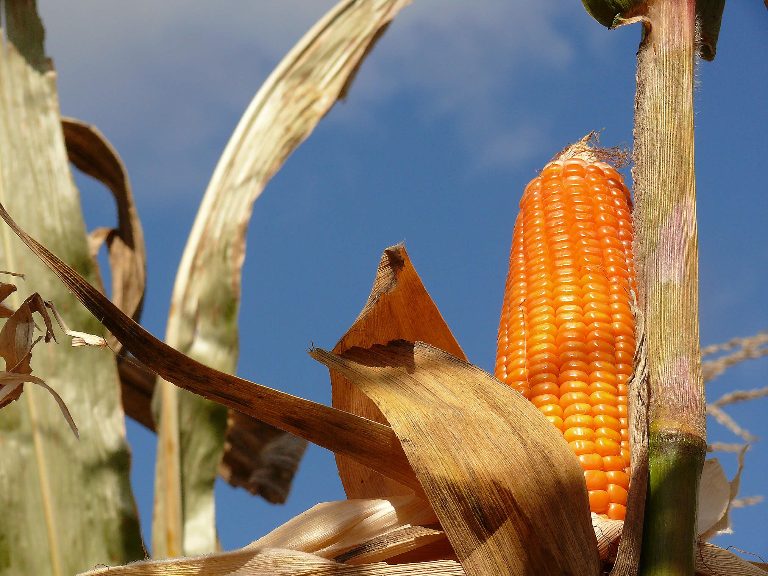 Michael Torbert Attain Rocheford Corn