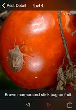 TomatoDoc_Pest