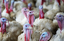 Alexander turkeys