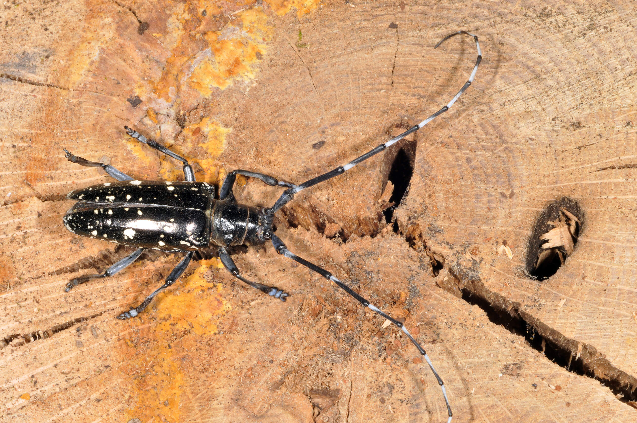 effort on to stop spread of asian longhorned beetle