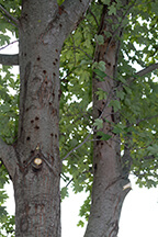 longhorned beetle damage