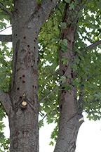longhorned beetle damage