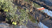 Monrow tomatoes