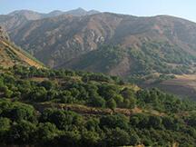 Persian walnut trees