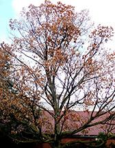 Ruhl sugar maple tree