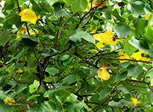 Ruhl tulip poplar tree