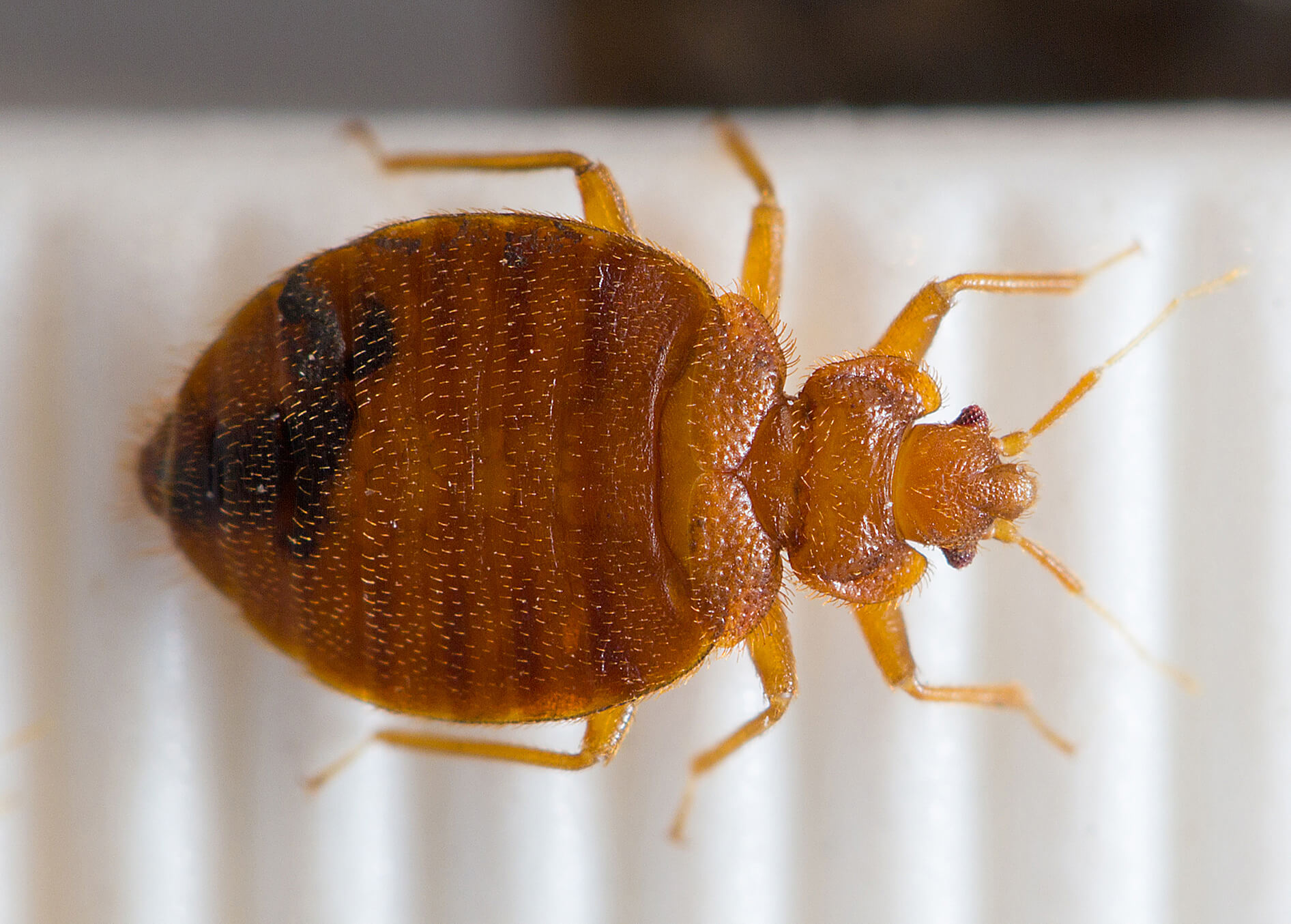 Bedbug genome uncovers biology of a pest on the rebound Purdue