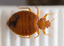 Scharf bedbug