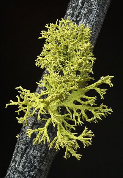 Aime lichen
