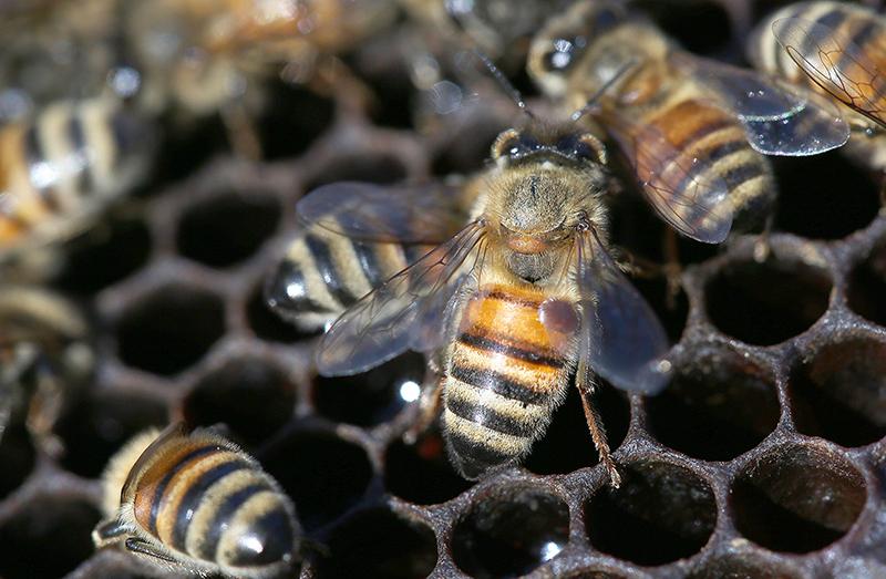 Andino bees