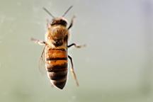 Dukes bees
