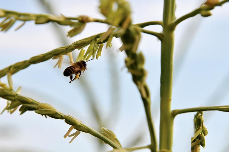 Foster_honeybee