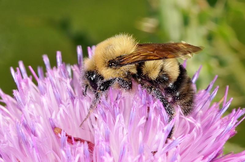 Foster pollinators