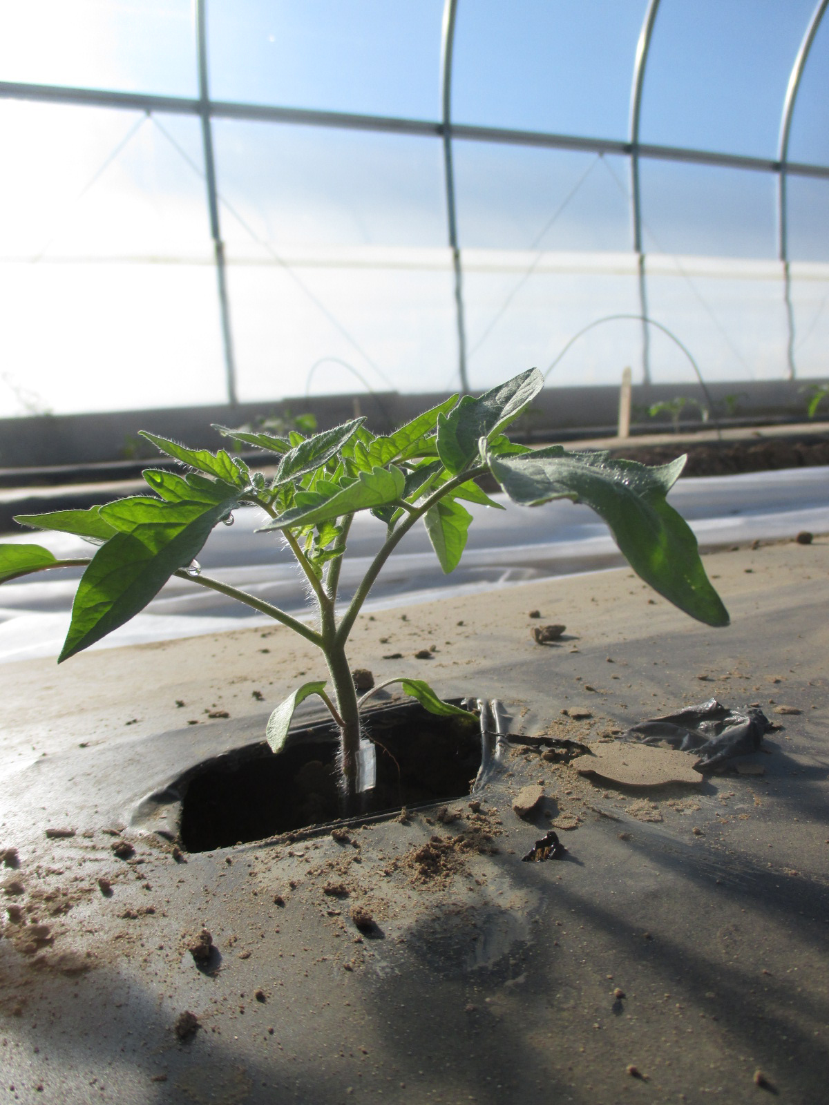 Purdue Extension Offers Tomato Grafting Workshops At SWPAC - Purdue University