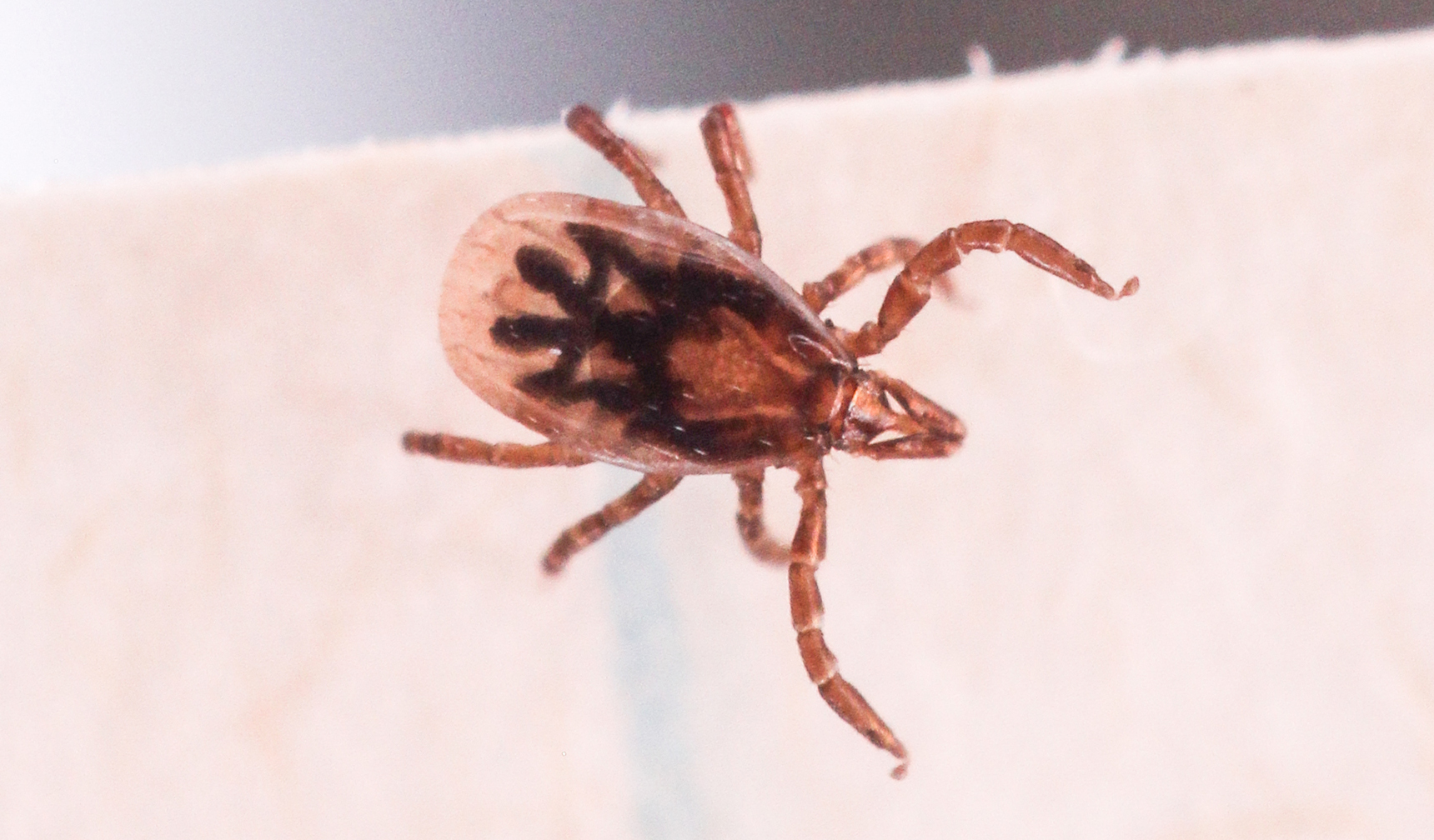What does an engorged deer tick look like 10