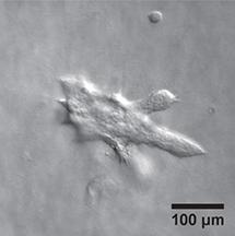 Mugler epithelia
